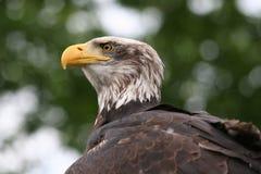 Kahler amerikanischer Adler Stockfotos
