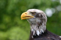 Kahler amerikanischer Adler Stockbilder