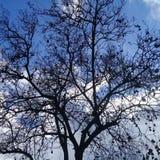Kahler Baum mit Jett unter klarem blauem Himmel Stockbild