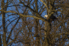 Kahler Eagle Camouflaged durch bloße Winter-Bäume Stockfotos