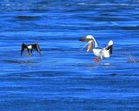Kahler Eagle Fishing mit Pelikanen II Stockbilder