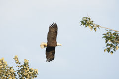 Kahler Eagle In Flight Wings Open Lizenzfreie Stockfotos