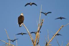 Kahler Eagle Perched in einem Baum, während Gänse oben fliegen Stockbild