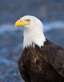 Kahler Eagle Portrait, Alaska Stockfotos
