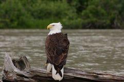 Kahler Eagle Sitting auf Klotz Stockfoto