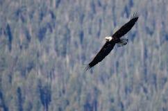 Kahler Eagle Soaring High in den Bergen Lizenzfreie Stockbilder