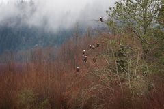 Kahler Eagles in einem Baum Lizenzfreie Stockfotos