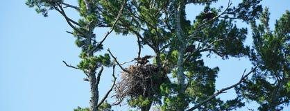 Kahler junger Adler, der für seinen Erstflug sich vorbereitet Lizenzfreie Stockfotos