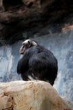 Kahler männlicher Schimpanse Stockfotografie