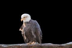 Kahler wilder Adler hockte auf einer trockenen Niederlassung Lizenzfreie Stockfotos