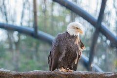 Kahler wilder Adler hockte auf einer trockenen Niederlassung Stockfotografie