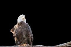 Kahler wilder Adler hockte auf einer trockenen Niederlassung, die auf Schwarzem lokalisiert wurde Stockbild