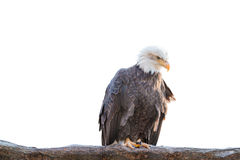 Kahler wilder Adler hockte auf einer trockenen Niederlassung, die auf Weiß lokalisiert wurde Lizenzfreie Stockfotos