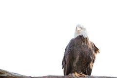 Kahler wilder Adler hockte auf einer trockenen Niederlassung, die auf Weiß lokalisiert wurde Lizenzfreies Stockbild