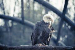 Kahler wilder Adler hockte auf einer trockenen Niederlassung im Wald Stockfoto