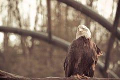 Kahler wilder Adler hockte auf einer trockenen Niederlassung im Wald Lizenzfreie Stockbilder