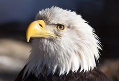 Kahles Eagle-Porträt Stockfotografie
