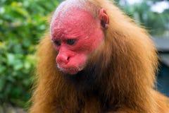 Kahles Uakari-Affe-Gesicht Lizenzfreie Stockfotos