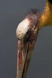 Kahlkopfvogel, der nach Lebensmittel sucht Stockfoto