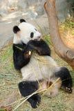 Kai Kai мужская панда есть бамбук в своей среде обитания Стоковая Фотография