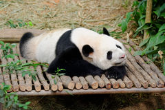 Kai Kai the male panda resting Royalty Free Stock Photography