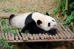 Kai Kai The Male Panda Resting Royalty Free Stock Photography