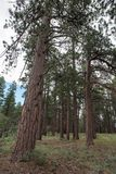 Kaibab Nationaal Bos Stock Foto