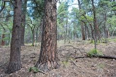 Kaibab National Forest. At Grand Canyon National Park Royalty Free Stock Images