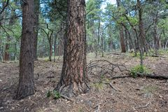Kaibab National Forest. At Grand Canyon National Park Royalty Free Stock Photo