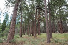 Kaibab National Forest. At Grand Canyon National Park Royalty Free Stock Photography