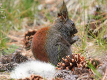 Kaibab Squirrel eating. A Kaibab Squirrel native to the Kaibab Forest of Arizona eating. This squirrel is only found in northern Arizona and nowhere else on Royalty Free Stock Photography
