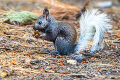 Kaibab Squirrel. Young White Tailed Kaibab Squirrel Munching On Ponderosa Pine Cone Stock Photos