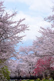 kaikomagatake mt японии вишни цветений fuji стоковое изображение rf