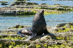 Kaikoura seal sitting on the rock East coast of South Island Stock Images