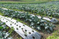 Kailan Farm Stock Image