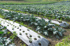 Kailan Farm. Organic kailan vegetable farming with weed infestation Stock Image