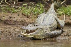 Kaiman (Caiman Crocodilus fuscus) Stockfotos