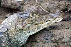 Kaiman in Costa Rica Der Kopf einer Nahaufnahme des Krokodils (Alligator) Lizenzfreies Stockbild