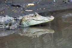 Kaiman in Costa Rica Der Kopf einer Nahaufnahme des Krokodils (Alligator) Lizenzfreie Stockfotografie