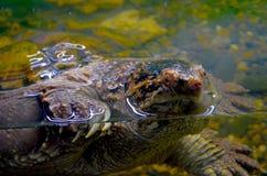 Kaiman-Schildkröte Stockfoto