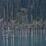 ?Kaindy 在湖的死的树 反对冷杉木背景  库存照片