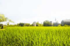 Kaiping Diaolou Village rice paddy. A rice paddy at Kaiping Diaolou in Zili village in Kaiping China in Guangdong province on a foggy day royalty free stock image