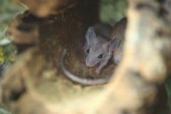 Kair spiny mysz zdjęcie royalty free