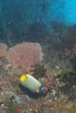 Kaiser Angel Fish in der bunten Unterwasserlandschaft von Papua Lizenzfreies Stockfoto