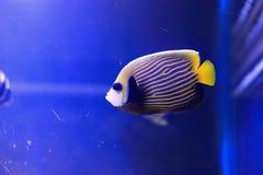 Kaiser Angelfish Stockbild