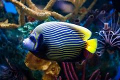 Kaiser-Anglefish-Nahaufnahme im Salzwasser-Aquarium lizenzfreie stockbilder