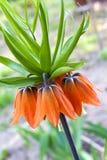 Kaiser& x27 ; couronne de s et x28 ; Imperialis& x29 de Fritillaria ; fleur Images libres de droits