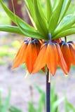 Kaiser& x27 ; couronne de s et x28 ; Imperialis& x29 de Fritillaria ; fleur Images stock
