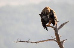Kaiser-Eagle Stockfotos