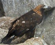 Kaiser-Eagle Lizenzfreie Stockbilder